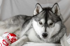 Lovely Siberian husky dog with black and white color with brown eyes Stock Photography