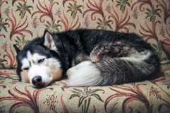 Lovely Siberian husky sleeps on a cozy sofa. Cute husky dog curl up in a ball on the master sofa in anticipation of the owner. Concept of a boring pet Stock Image