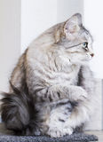 Lovely silver cat in the house, female siberian breed. Siberian cat, grey lovely female royalty free stock image