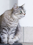 Lovely silver cat in the house, female siberian breed. Siberian cat, grey lovely female stock images