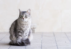 Lovely silver cat in the house, female siberian breed. Siberian cat, grey lovely female stock photos
