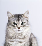 Lovely silver cat in the house, female siberian breed. Siberian cat, grey lovely female royalty free stock photos