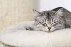 Lovely silver cat in the house, female siberian breed on thescratching post. Siberian cat, grey lovely female royalty free stock photography