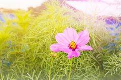 Lovely one flower cosmos on tree with green leaf in dreamy colou. Lovely single flower cosmos on tree with green leaf for nature background Stock Photo