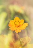Lovely single yellow flower cosmos on soft colour background Stock Photography