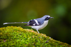Lovely Slaty-backed forktail Royalty Free Stock Photos