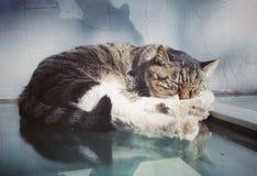 Lovely sleeping civet cat Stock Image