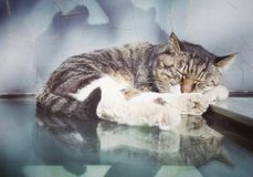 Lovely sleeping civet cat 2 Royalty Free Stock Photo