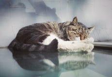 Lovely sleeping civet cat 3 Royalty Free Stock Photography