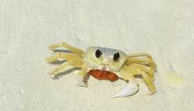 Lovely small beach crab on Eagle Beach of Aruba Island. Caribbean. stock photo
