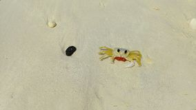 Lovely small beach crab walking on the sand. Aruba,. Eagle Beach Stock Images