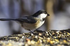 Lovely small chickadee looking for seeds. In a very cold winter morning stock photo