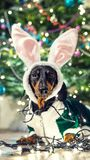 Lovely small dog breed dachshund with hare ears and green jacket, entangled in the garland on a background festive jewelry Christm. As tree royalty free stock photography