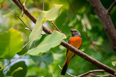 Lovely Small Minivet bird Royalty Free Stock Photos