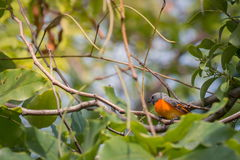 Lovely Small Minivet bird Stock Photo