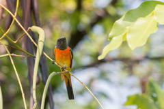 Lovely Small Minivet bird Stock Photography