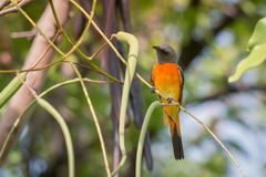 Lovely Small Minivet bird Royalty Free Stock Image