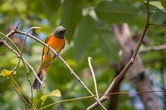 Lovely Small Minivet bird Stock Photos