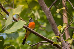 Lovely Small Minivet bird Royalty Free Stock Photo