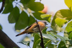 Lovely Small Minivet bird Royalty Free Stock Images