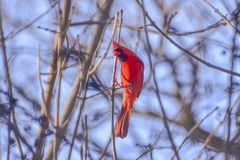 Lovely small red cardinal looking for berries. In a very cold winter morning royalty free stock image