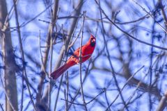 Lovely small red cardinal looking for berries. In a very cold winter morning stock photo
