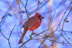 Lovely small red cardinal looking for berries. In a very cold winter morning stock photography