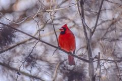 Lovely small red cardinal looking for berries. In a very cold winter morning royalty free stock images