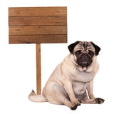 Lovely smart pug puppy dog sitting down next to blank wooden sign on pole, isolated on white background Royalty Free Stock Photo
