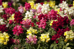Lovely Snapdragons Stock Image