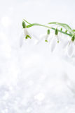 Lovely snowdrop flowers soft focus, on white studio snow, perfec Royalty Free Stock Images