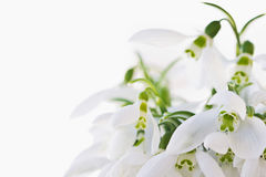 Lovely snowdrop flowers soft focus, on white studio snow, perfec Stock Photography