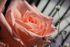 Lovely soft pink rose from bouquet. stock photos