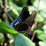 Spicebush Swallowtail Butterfly on a Redtip leaf stock photo