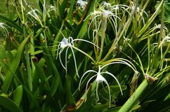 Patch of beautiful white Spider Lilies beautify the landscape in Mexico. These lovely Spider Lilies grow healthy in tropical climates, like this patch located in Stock Photography