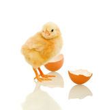 Lovely spring chicken with egg shell - isolated. Lovely spring chicken with egg shell looking at the camera - isolated, reflection Royalty Free Stock Photography
