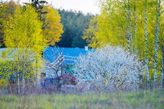 Lovely spring colors at sunset light. Birch trees and blooming white wild cherries royalty free stock photo