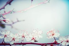 Lovely springtime blossom of cherry at turquoise blue sky background. Outdoor nature. In garden or park Stock Images