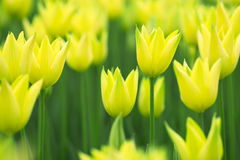 Lovely springtime blurry tulip flowers background Royalty Free Stock Images