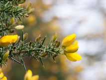 A lovely sprout of gorse in the spring. A lovely shot of some lush smelling gorse in spring Royalty Free Stock Photography