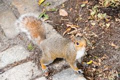 Lovely squirrel being adorable while looking up. Lovely squirrel being adorable in Central Park Royalty Free Stock Photography