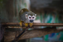 Lovely squirrel monkey Royalty Free Stock Photos