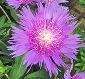 Bright purple Stokeasia Leavis flower. Lovely Stokeasia Leavis flower also known as Purple Parasols blooming during summer Stock Image