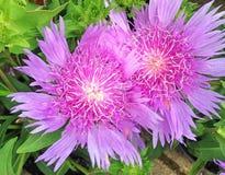 Lovely purple Stokeasia Leavis flowers. Lovely Stokeasia Leavis flowers also known as Purple Parasols Royalty Free Stock Images