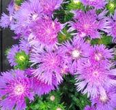 Lovely Stokeasia Leavis Purple Parasol flowers. Lovely Stokeasia Leavis flowers also known as Purple Parasols Royalty Free Stock Image