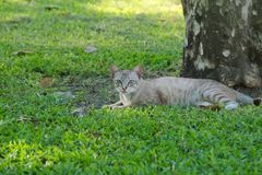 Lovely, stray, homeless, grey, white and striped tan cat, lounging in the nice grass, enjoying the tree shade in a lush Thai park. royalty free stock photo