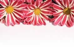 Lovely striped daisies  on white Royalty Free Stock Image