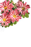 Lovely striped daisies  on white Royalty Free Stock Photo