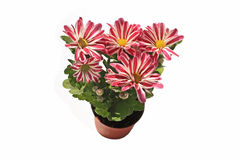 Lovely striped daisies  on white Royalty Free Stock Photography