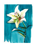 Lovely subtle beige lily on a blue background watercolor. Hand sketch vector illustration